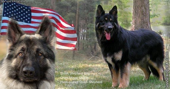 Shiloh Shepherd Dog, Chien berger Shiloh, Plush-coated Shiloh Shepherd