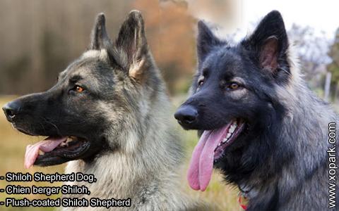 Shiloh Shepherd Dog – Chien berger Shiloh – Plush-coated Shiloh Shepherd – xopark10