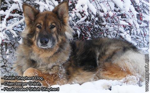 Shiloh Shepherd Dog – Chien berger Shiloh – Plush-coated Shiloh Shepherd – xopark2