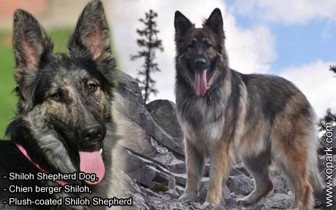 Shiloh Shepherd Dog – Chien berger Shiloh – Plush-coated Shiloh Shepherd – xopark3