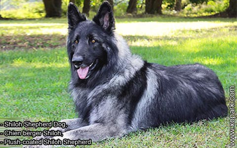 Shiloh Shepherd Dog – Chien berger Shiloh – Plush-coated Shiloh Shepherd – xopark4