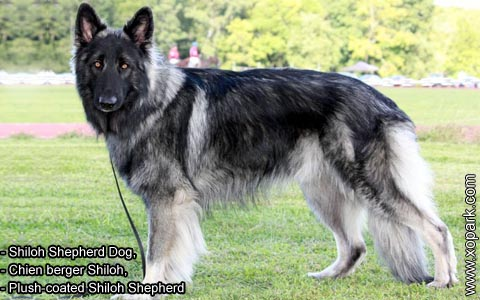 Shiloh Shepherd Dog – Chien berger Shiloh – Plush-coated Shiloh Shepherd – xopark5