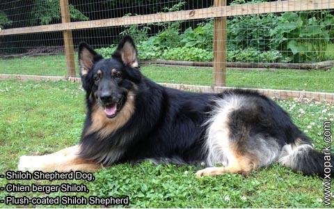 Shiloh Shepherd Dog – Chien berger Shiloh – Plush-coated Shiloh Shepherd – xopark7