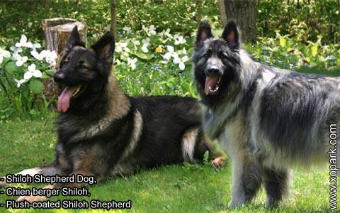 Shiloh Shepherd Dog – Chien berger Shiloh – Plush-coated Shiloh Shepherd – xopark8