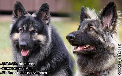 Shiloh Shepherd Dog – Chien berger Shiloh – Plush-coated Shiloh Shepherd – xopark9
