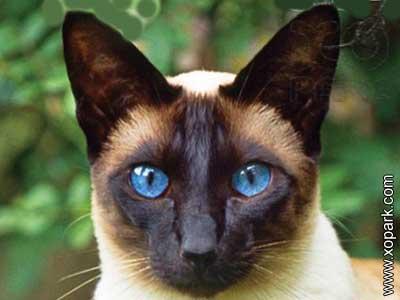 Siamois,Siamois cat,Meezer,Siamese cat