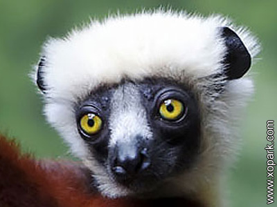 Sifaka - Propithèque - Propithecus - Indridae - Indridés - Primates
