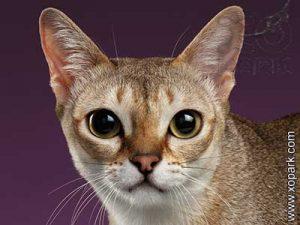 Singapura,Singapura cat,Drain Cat,Kucinta,Love Cat