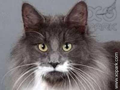 Skogkatt cat, Chat norvégien