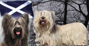 Skye Terrier,