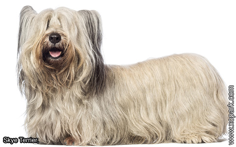 Skye Terrier – xopark1