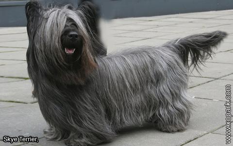 Skye Terrier – xopark2