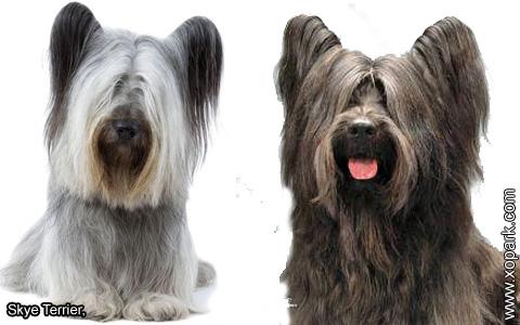 Skye Terrier – xopark3
