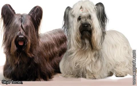 Skye Terrier – xopark4