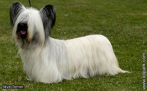 Skye Terrier – xopark5