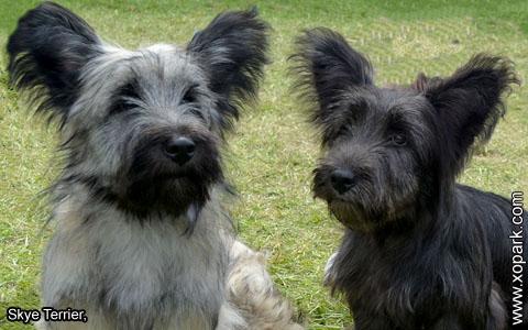Skye Terrier – xopark6