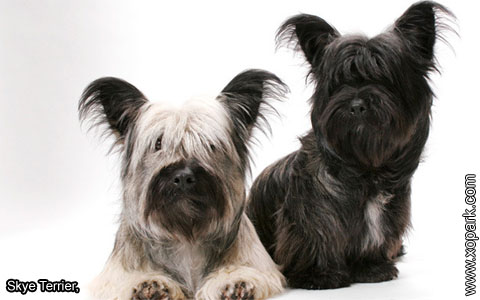 Skye Terrier – xopark7