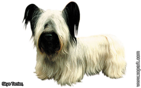 Skye Terrier – xopark8