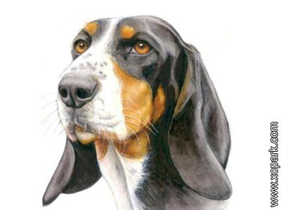 Small Bernese Hound - Petit chien courant suisse - Berner Laufhund, Schweizericher Niederlaufhund