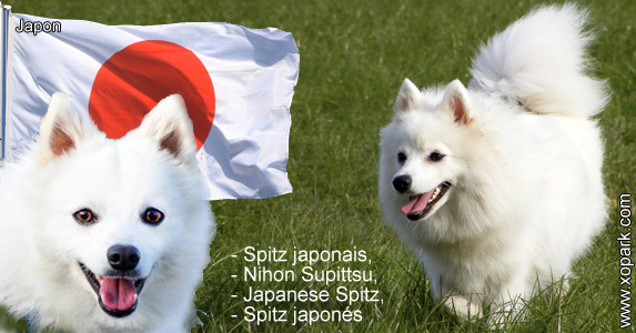Spitz japonais, Nihon Supittsu, Spitz japonais, Japanese Spitz, Spitz japonés