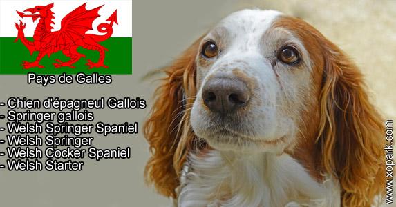 Springer gallois, Chien d'épagneul Gallois - Welsh Springer Spaniel, Welsh Springer, Welsh Cocker Spaniel, Welsh Starter