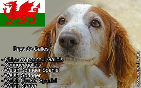 Springer gallois – Welsh Springer Spaniel – xopark1