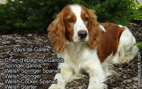 Springer gallois – Welsh Springer Spaniel – xopark2