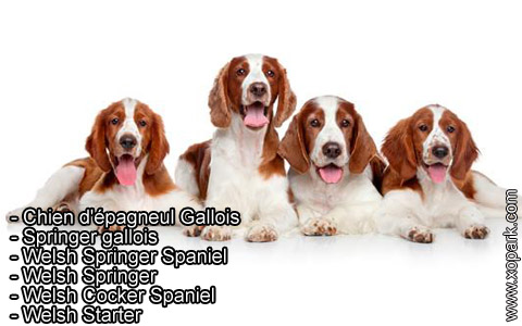 Springer gallois – Welsh Springer Spaniel – xopark3