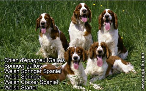 Springer gallois – Welsh Springer Spaniel – xopark4