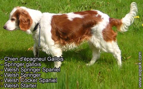 Springer gallois – Welsh Springer Spaniel – xopark5