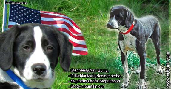Stephens Cur, Little black dog, Stephens, stock Stephens, stock mountain cur