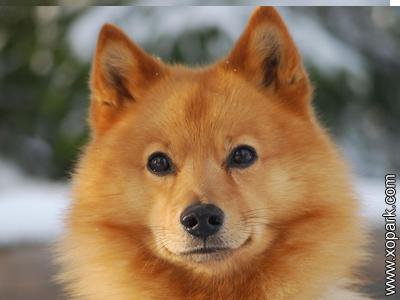 Spitz finlandais, Finnish Spitz, Suomenpystykorva Finnish Hunting Dog, Finnish Spets, Finsk Spets, Loulou Finois, Suomalainen pystykorva,