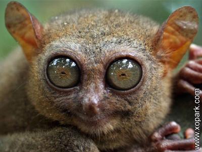 Tarsier - Tarsius - Primates haplohiniens - Tarsiidés - Tarsiidae