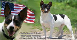 Teddy Roosevelt Terrier, Terier Teddy Roosevelt, Chien peluche de Roosevelt, Terier tikus berkaki pendek, Feist berkaki bangku