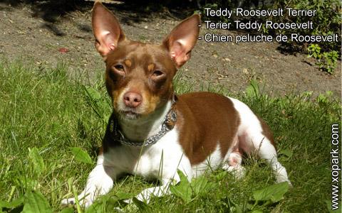 Teddy Roosevelt Terrier – Terier Teddy Roosevelt – Chien peluche de Roosevelt – xopark5