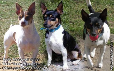 Teddy Roosevelt Terrier – Terier Teddy Roosevelt – Chien peluche de Roosevelt – xopark6