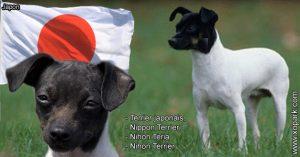 Terrier japonais, Nippon Terrier, Nihon Teria Nihon Terrier