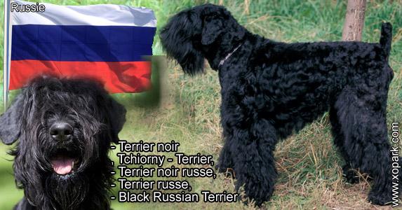 Terrier noir , Tchiorny Terrier, Terrier noir russe, Terrier russe, Black Russian Terrier