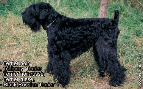 Terrier noir – Tchiorny Terrier – Terrier noir russe – Terrier russe – Black Russian Terrier – xopark1