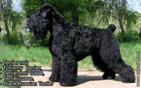 Terrier noir – Tchiorny Terrier – Terrier noir russe – Terrier russe – Black Russian Terrier – xopark2