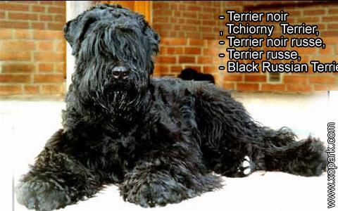 Terrier noir – Tchiorny Terrier – Terrier noir russe – Terrier russe – Black Russian Terrier – xopark3