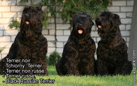 Terrier noir – Tchiorny Terrier – Terrier noir russe – Terrier russe – Black Russian Terrier – xopark4