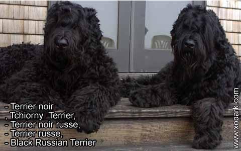 Terrier noir – Tchiorny Terrier – Terrier noir russe – Terrier russe – Black Russian Terrier – xopark5