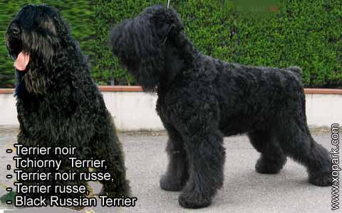 Terrier noir – Tchiorny Terrier – Terrier noir russe – Terrier russe – Black Russian Terrier – xopark6