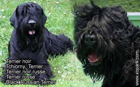 Terrier noir – Tchiorny Terrier – Terrier noir russe – Terrier russe – Black Russian Terrier – xopark7