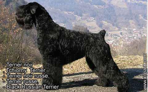 Terrier noir – Tchiorny Terrier – Terrier noir russe – Terrier russe – Black Russian Terrier – xopark8