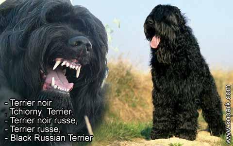 Terrier noir – Tchiorny Terrier – Terrier noir russe – Terrier russe – Black Russian Terrier – xopark9