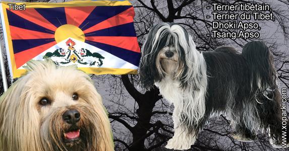 Terrier tibétain, Terrier du Tibet, Dhoki Apso, Tsang Apso
