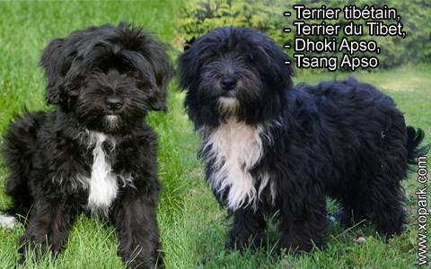 Terrier tibétain – Terrier du Tibet – Dhoki Apso – Tsang Apso – xopark1