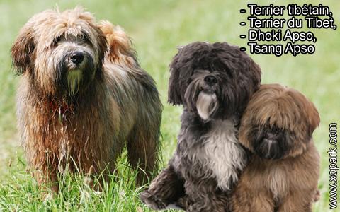 Terrier tibétain – Terrier du Tibet – Dhoki Apso – Tsang Apso – xopark2
